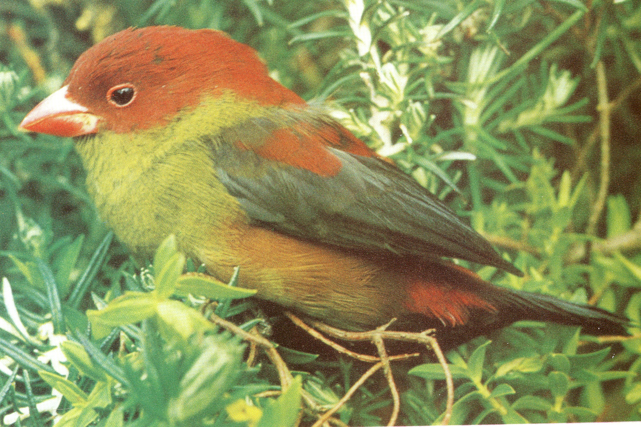 New photo reference of shelley s crimsonwing finch found for Photo oiseau