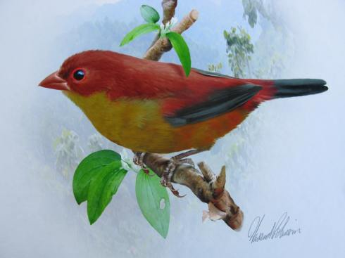 The Shelley's Crimsonwing is one of the rarest finches in Africa . It inhabits the same area as the threatened mountain gorillas in Rwanda , Uganda and the DRC. There currently is only one modern day photograph of the bird in the world. Painting by Howard Robinson