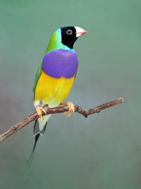 The spectacular Gouldian Finch from Australia. Photo Russell Kingston