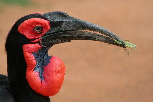 A threatened Southern-Ground Hornbill. Photo courtesy Mabula Ground-Hornbill project South Africa
