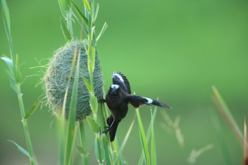 A Thick billed weaver building its nest. Photo Col Roberts
