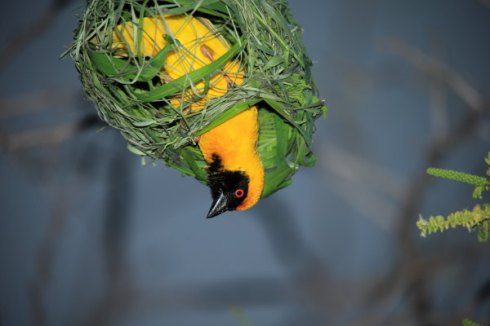A Southern masked-weaver building its nest. Photo Col Roberts