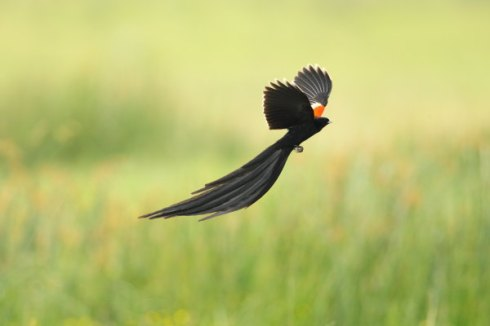 A long-tailed widow finch in full flight. Photo Col Roberts
