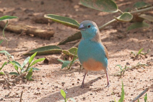 A blue waxbill cock bird. Photo Kevin Solomon