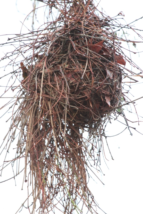 A close up pic of a red-headed weavers nest taken in the Kruger National Park. Photo Lindsay Nutley