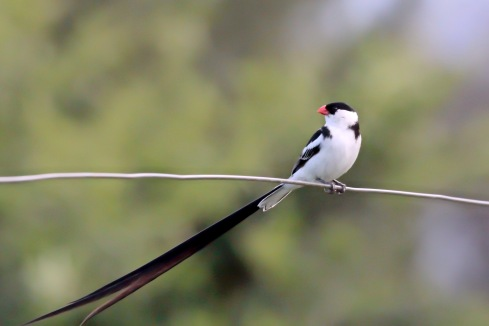 A pin-tailed whydah. Photo Kevin Solomon