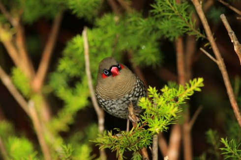 Red-Eared Firetail Photo Col Roberts