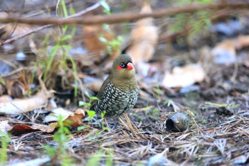 Red-Eared firetails feed in low undergrowth or occasionally on the ground. Photo Col Roberts