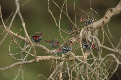 A family group of Red-Eared firetails : Photo Col Roberts