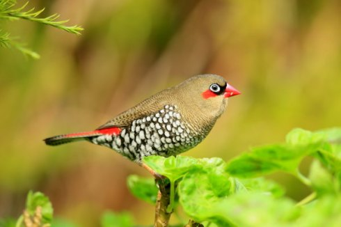 A perfect side profile of a Red-Eared firetail. Photo Col Roberts