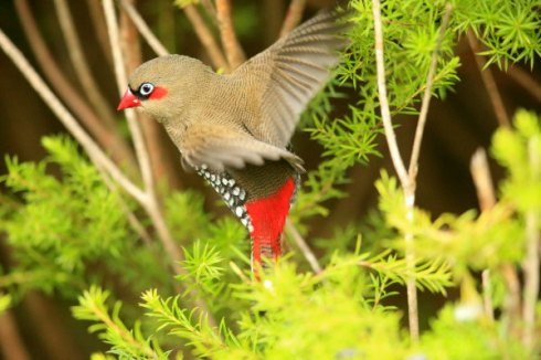 A Red-Eared firetails feathering in flight. Col Roberts