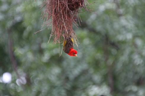 A Red-headed weaver. Photo Sheena deJager Miles