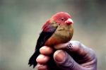 The world's second known photograph of a Shelley's crimsonwing cockbird. Photo Colin Jackson