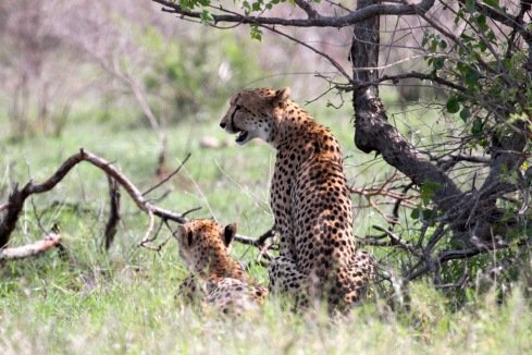 Cheetah in the Kruger National Park. Photo Kevin Solomon. RFCG 2013 EcoTour guest