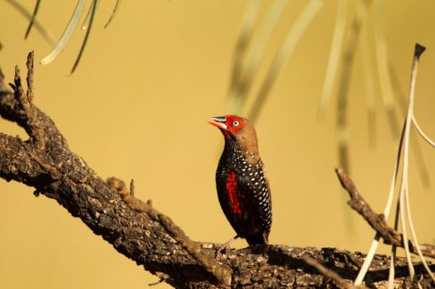 A painted finch. Photo Col Roberts