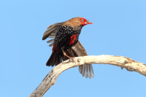 A painted finch having a good stretch ! Photo Col Roberts