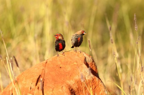 A pair of painted finches. Cock bird left. Hen bird right. Photo Col Roberts