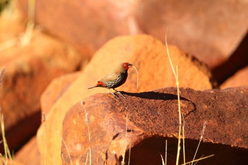 Painted finches are quite often seen on rocky outcrops in western and central Australia. Photo Col Roberts