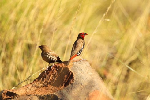Painted finches often enjoy rocky areas that are covered in Spinifix grass. Photo Col Roberts