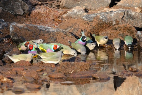 Gouldians gather at a waterhole at first light. Photo courtesy and copyright Kev Solomon