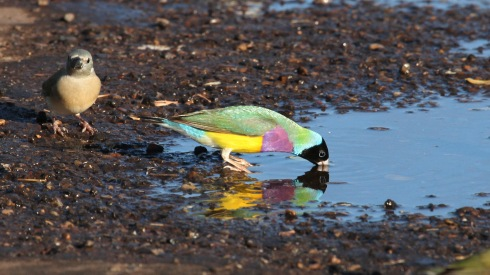 Gouldians catch a quick drink on the road to Wyndham- Western Australia. Photo courtesy and copyright. Kev Solomon