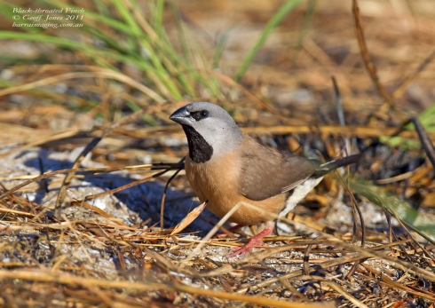 Black-throated Finch. Photo courtesy Geoff Jones