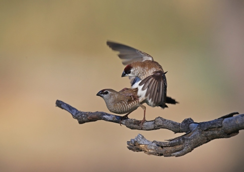 Mating Plumheads 1