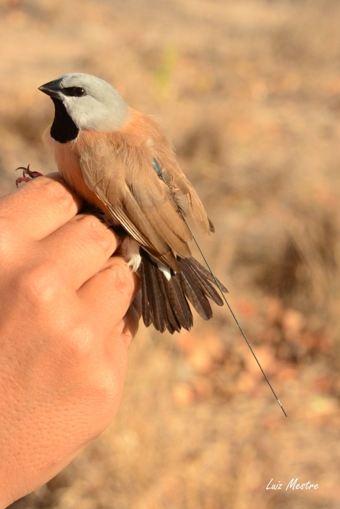A black-throated finch with a radio tag. Photo Juliana Rechetelo