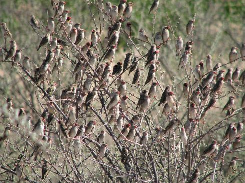The quelea finch is a weaver bird and nest are built that virtually drip off trees. Photo Alastair Rae