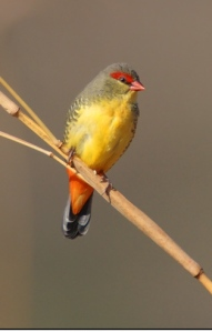 Orange-breasted Waxbill (Amandava subflava) Photo J de Beer