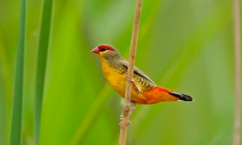 Orange-breasted waxbill ( Amandava sublava ) Photo Chris Krog
