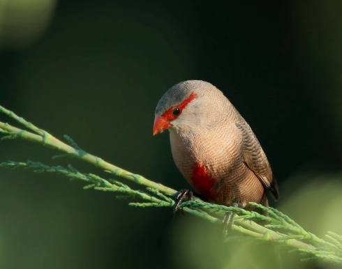 A Common Waxbill