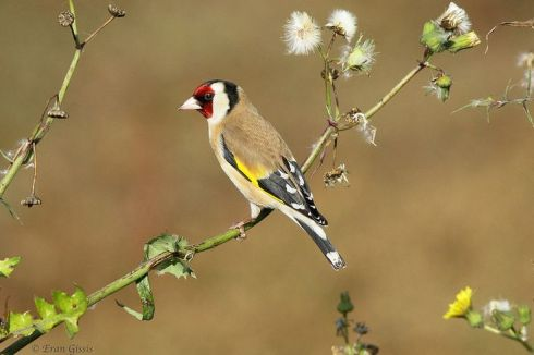 European Goldfinch
