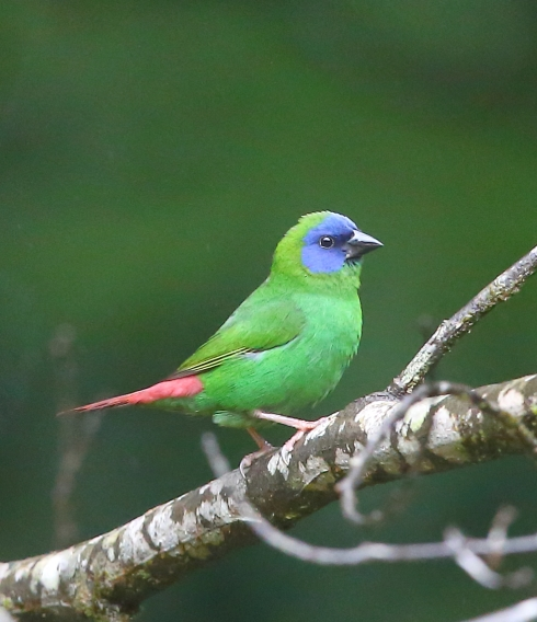 Blue headed parrot finch