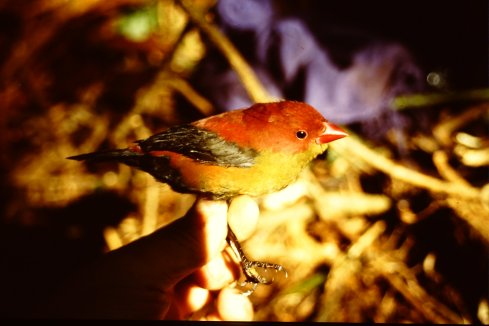 Photo 1: Side view of a male Shelley's Crimsonwing photographed in 1996 (courtesy Morten Dehn).